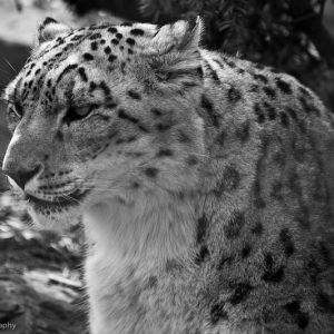 Snow leopard Early Foundations Daycare Calgary